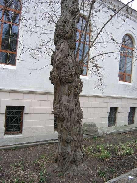 Дерево возле музея